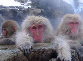 jigokudani snow monkeys hotspring onsen nagano japan